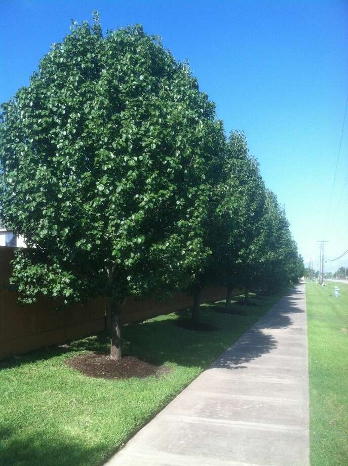 Bradford pear trees in Pearland.