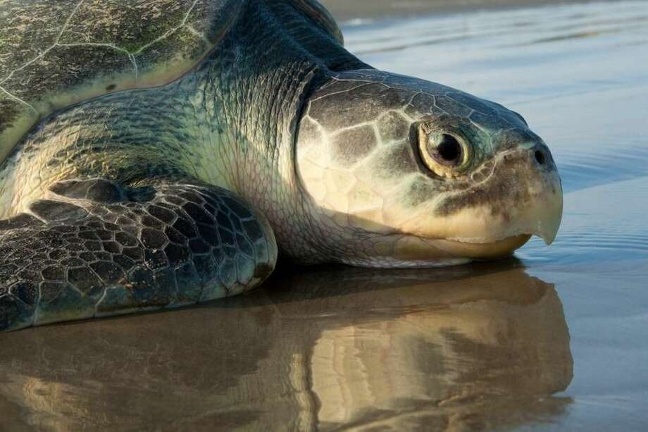 Customs and Border Protection agents working on South Padre Island National Seashore found an unresponsive Kemp Ridley sea turtle laying on a nest of eggs on Saturday, April 8, 2017. A biologist from the park took the eggs of the critically endangered species for immediate incubation.Scroll through the gallery to see 12 things to know about the sea turtles as well as pictures of an endangered turtle being released into the wild