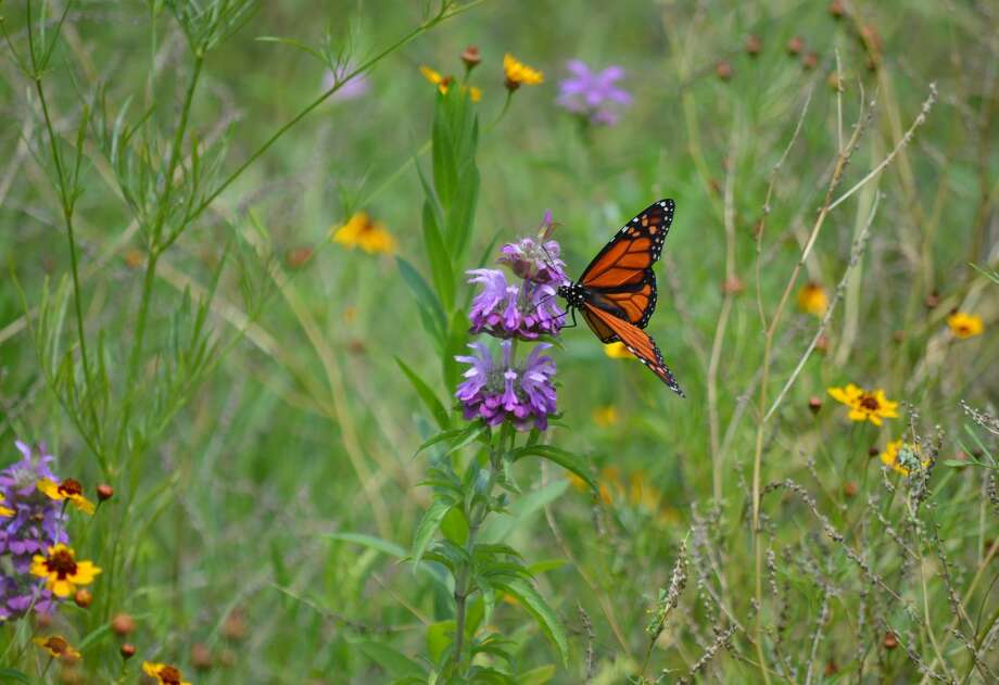 The pocket prairies being constructed at Rice University, the University of Houston and the University of St. Thomas will provide habitat for monarch butterflies and other wildlife.