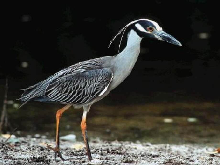 Adult Yellow-crowned Night Heron.