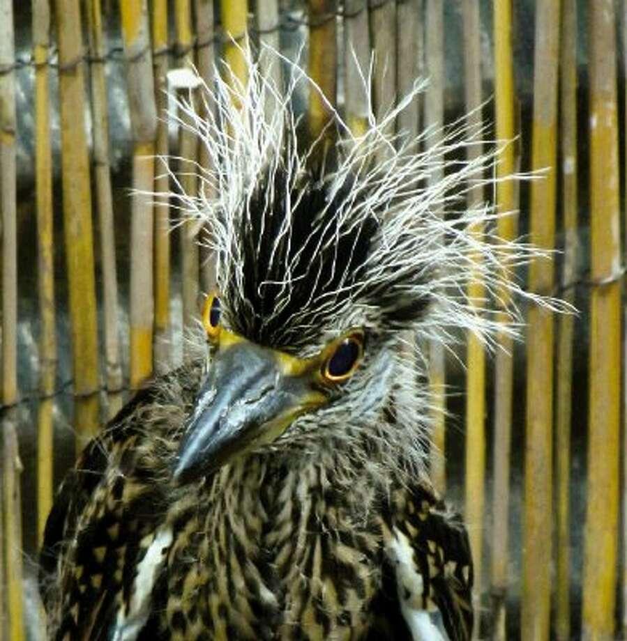 Juvenile Yellow-crowned Night Heron.