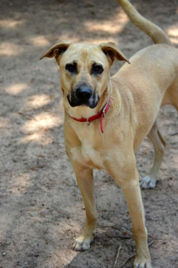 Hailey, a 2-year-old lab mix, is ready to pack her bags and find her loving home. One of our wonderful volunteers took her home for a few days for a play date and she had a fabulous time. Photo: Picasa