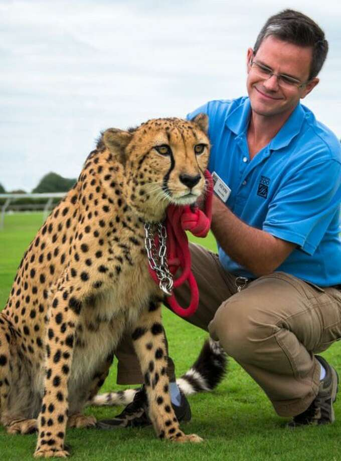 Kevin Hodge, Houston Zoo Curator, and Kito the cheetah after a running session at Dynamo Field. Cheetahs are the fastest land animal on the earth and in short bursts, can reach a speed of 60 miles per hour. Kito has been clocked at 50 miles per hour.
