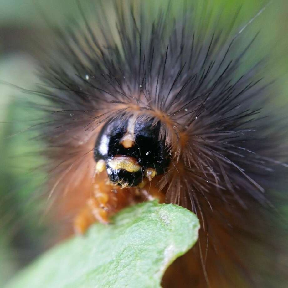 The Woolly Bear is an example of what might be shot during the Phonetastic Texas Wildflower Photography class on March 26 at Indiangrass Preserve