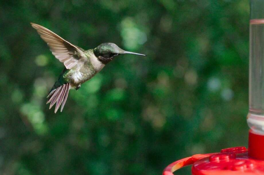 A hummingbird approaches a feeder in League City. Photo: KIRK SIDES