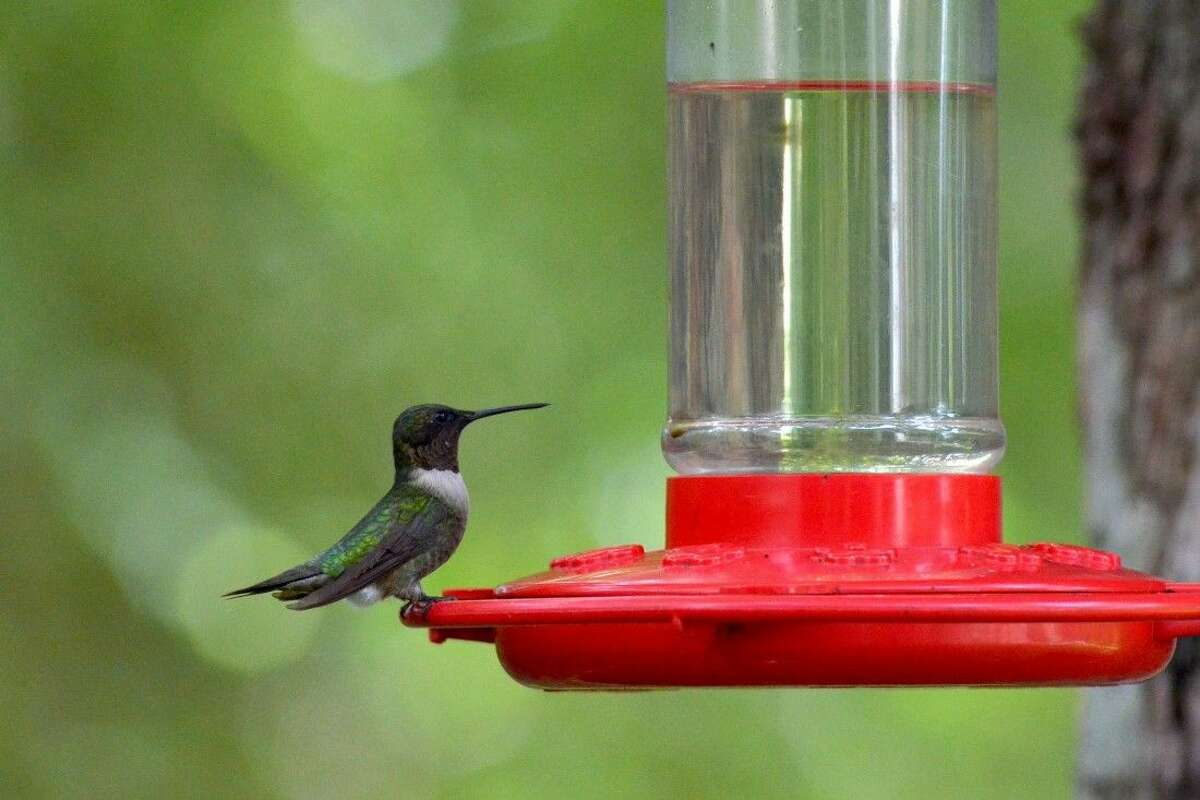 Now's the time to put out hummingbird feeders as the annual migration will be passing through the Texas Gulf Coast area during the next several weeks.