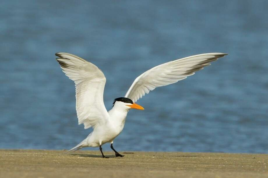 2016 FeatherFest theme bird, the Royal Tern. Photo credit: Larry Ditto