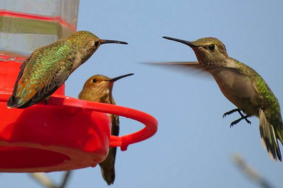 There are three species of Hummingbirds that typically show up in August in the Houston area. They are the Ruby Throated, Black Chinned and the Rufous.