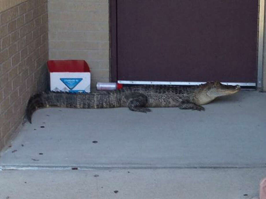 An alligator was spotted just outside Beck Jr. High School in Katy, Texas. Photo: KTRK