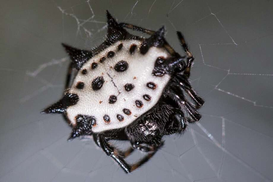 A spiny-backed orbweaver sits on a web in a backyard in Atascocita. Photo: Andrew Buckley
