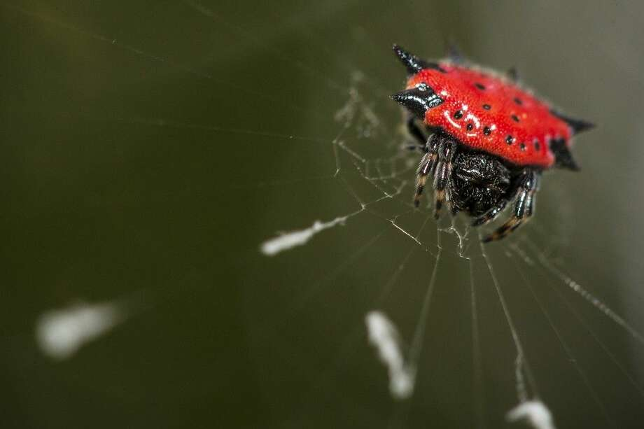 A spiny-backed orbweaver sits on a web in a backyard in Atascocita.