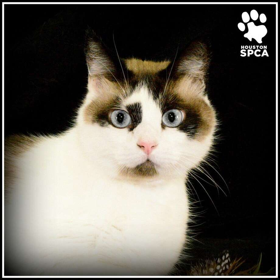 BugsyID#37686 Male Bugsy is a gorgeous eight-year-old Snowshoe mix looking for his forever home. He is a friendly kitty who is easygoing and laid back. He is litter box trained and since he's an older guy he won't need too much playtime. Bugsy is available to adopt at a discount through our Golden Paws program. To learn more go to www.HoustonSPCA.org, and visit him at the Houston SPCA today! Photo: Debbie Chapman