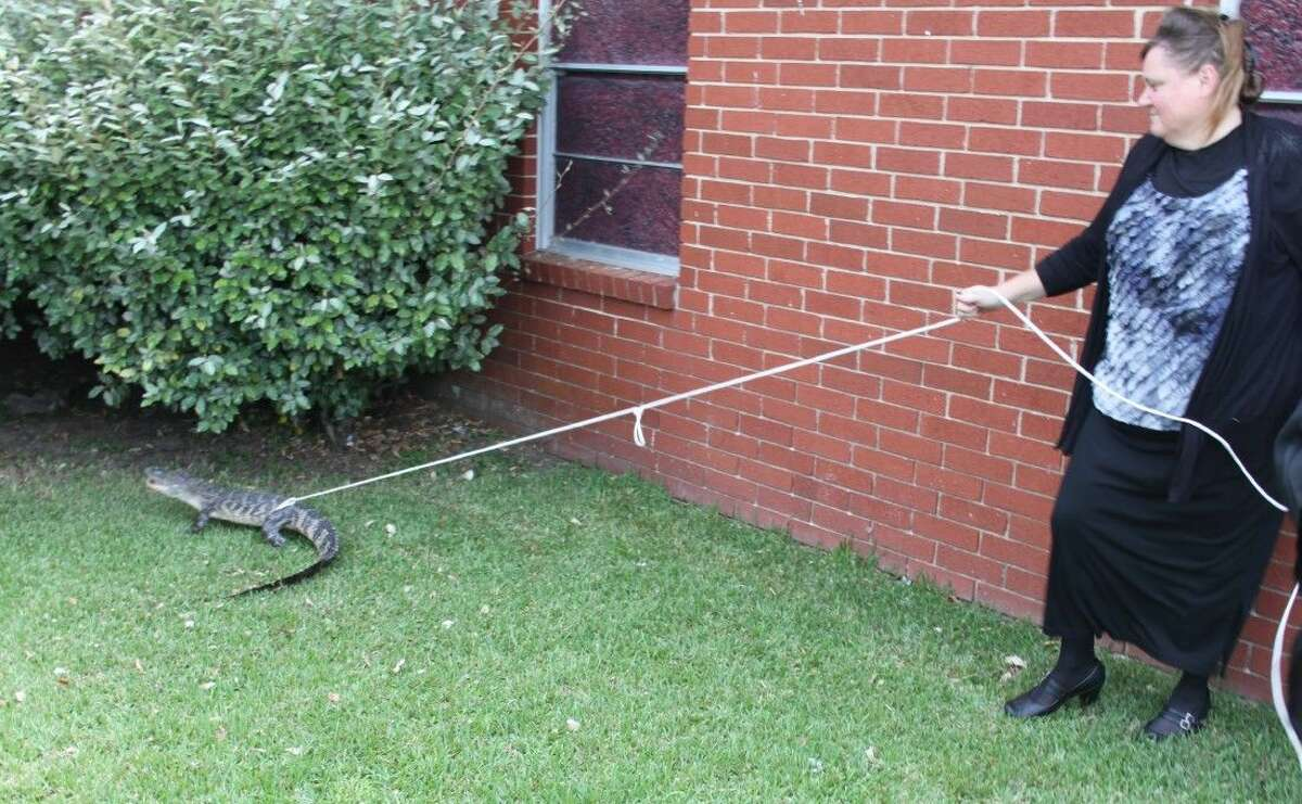 Before law enforcement arrived to assist in the capture of an alligator on Sunday, Aug. 17, at Moss Hill United Pentecostal Church, Lucinda Perry, a church member, had lassoed the alligator using a bamboo stick and some rope.