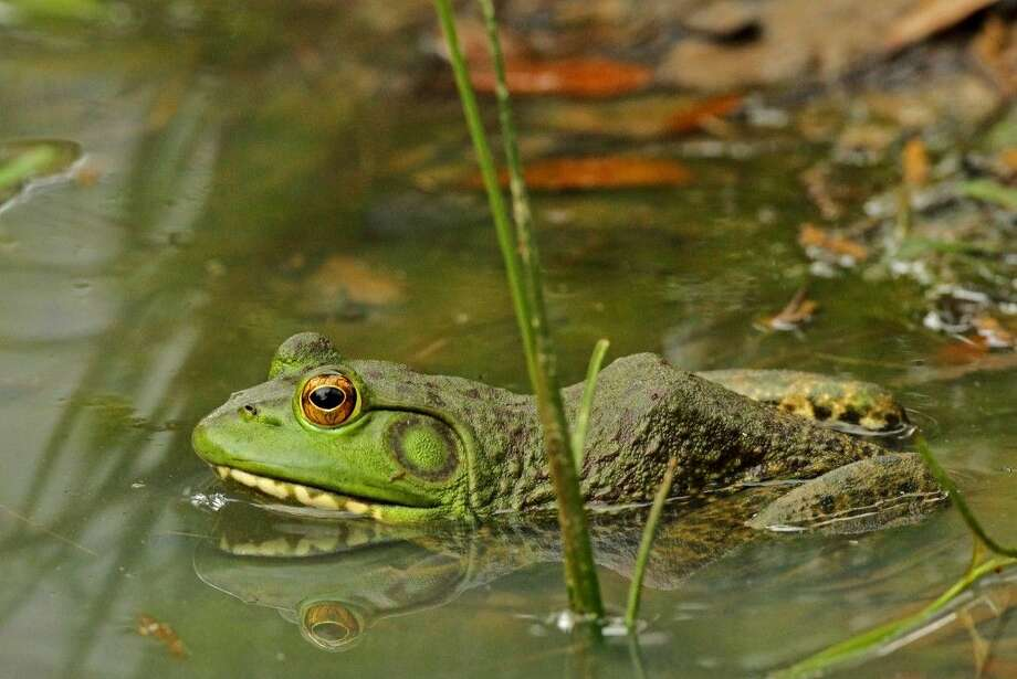 Frogs are one of the many types of wildlife found on the Katy Prairie. Check out Katy Prairie Conservancy's April events - Ranger Trek and two Wildlife Workshops, where you should see lots of flora and fauna. Photo: Mac Womack