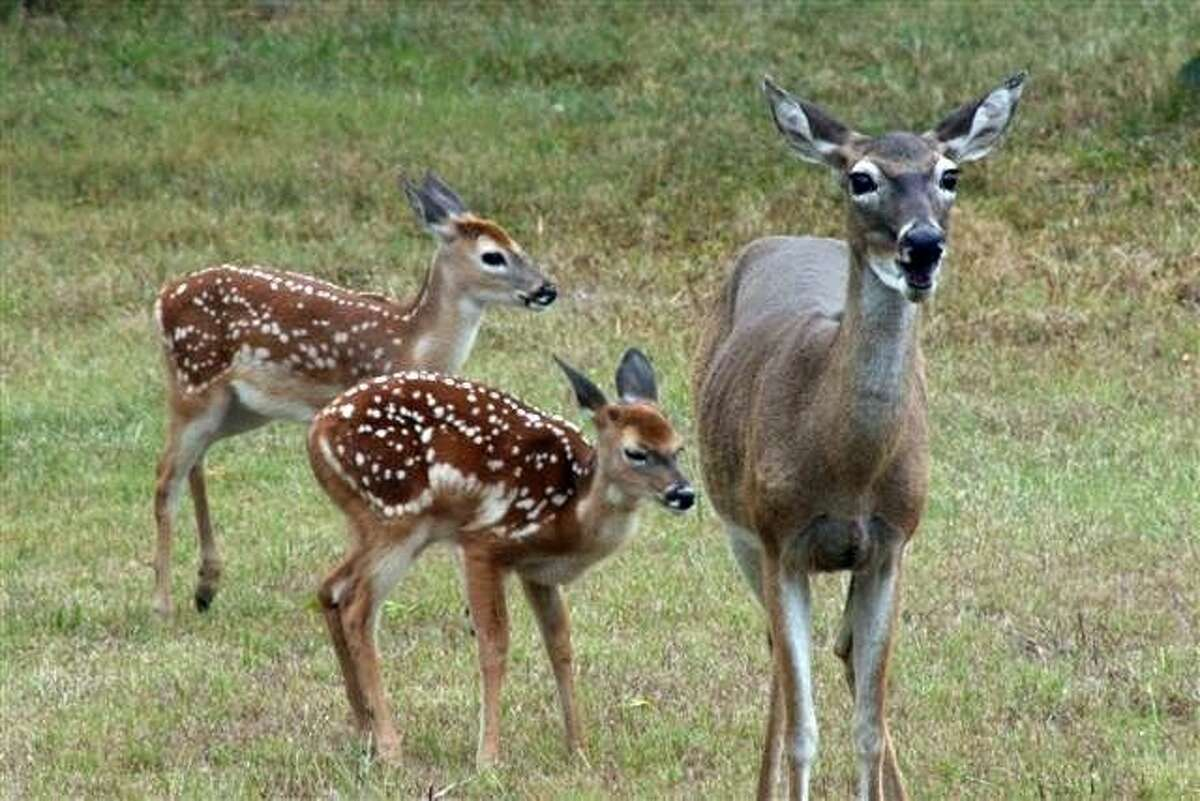 Human interference, even with the best of intentions, can result in the death of a young fawn because of improper care and diminishing the animal's ability to survive in the wild.