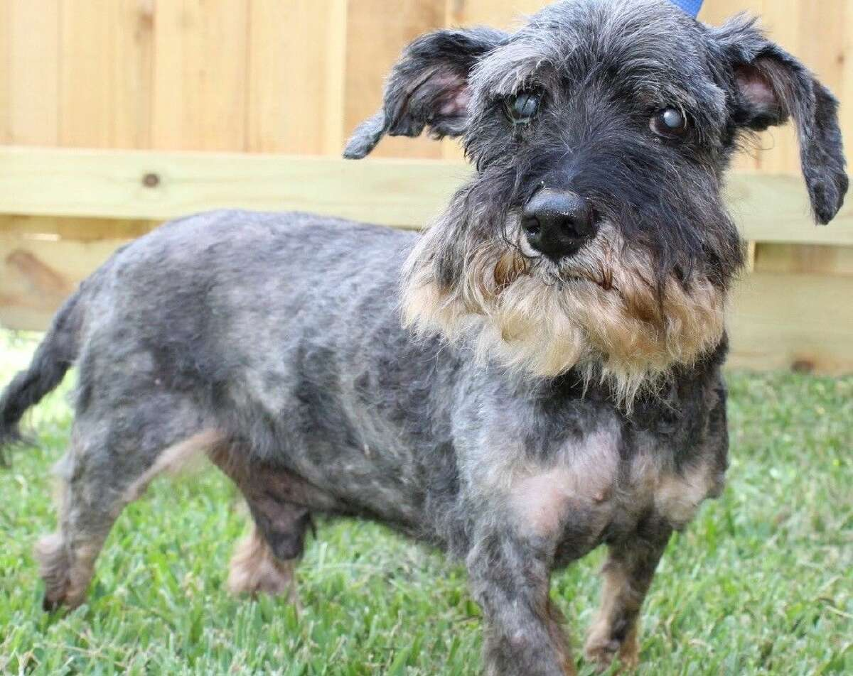 Rocky Road is a senior miniature schnauzer. He will be featured in Houston Pet Talk Magazine.