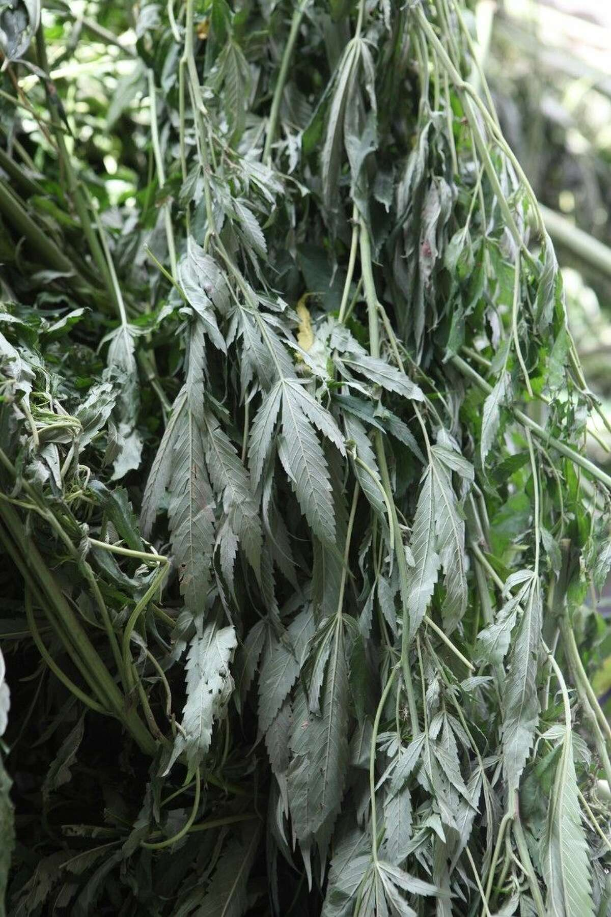 Some of the $10,000 marijuana plants discovered in a clandestine grow field at Cullinan Park in the Sugar Land area, which possessed an estimated street value of $10 million before authorities raided the operation on Tuesday, Aug. 19.