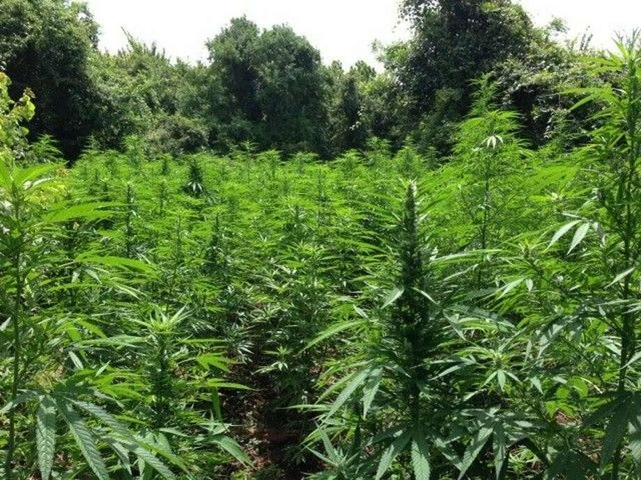 The $10 million marijuana growing operation that took place on about five acres in Cullinan Park, prior to the 10,000-plant crop's relocation to the Fort Bend County Sheriff's Office on Wednesday, Aug. 20. Photo: Photo Courtesy FBCSO
