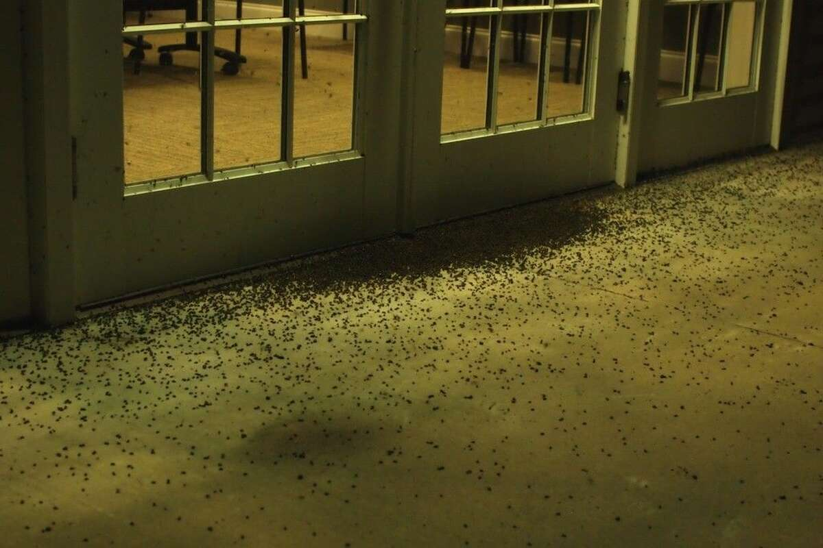 Those are beetles - thousands of them - collected at the back door of the Trinity River National Wildlife Refuge headquarter, Saturday night, July 25, 2015.