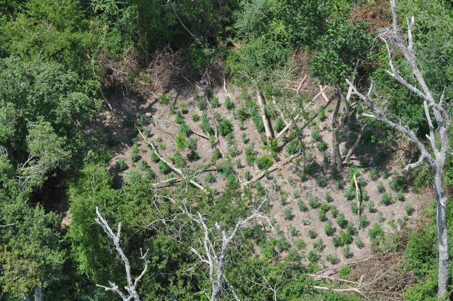 A tip to law enforcement led to the discovery of several marijuana fields off of I-45 N and Rankin Rd. Photo: Submitted Photo