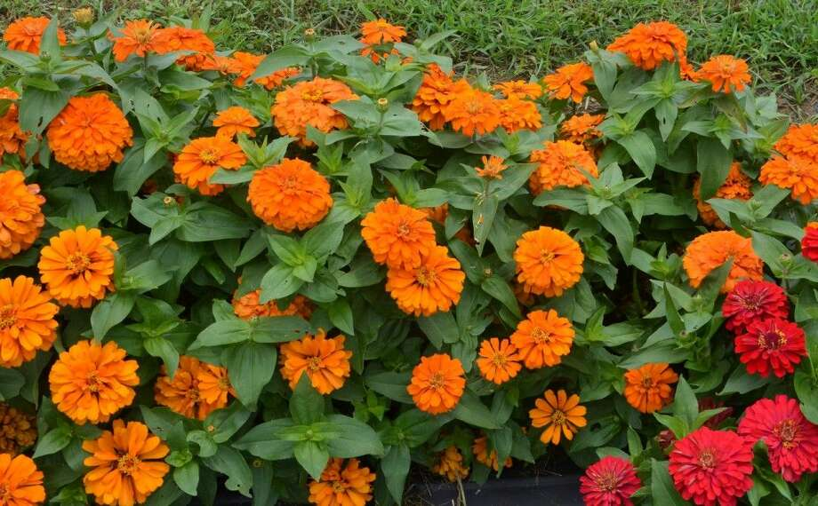 Fall zinnias have all the colors gardeners love to see in the fall — oranges, apricots and yellows, according to a Texas A&M AgriLife Research horticulturist. (Texas A&M AgriLife Communications photo by Robert Burns) Photo:                               >