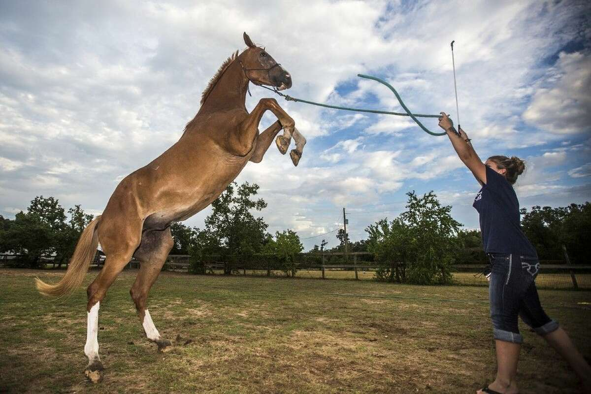 Emily Neff directs her horse, Dimitri, to rear during an evening workout at Trail's End Stables on Aug. 27, 2014, in Kingwood's Deer Ridge Park. Neff said that many of the tricks that Dimitri can do came naturally and that he is a