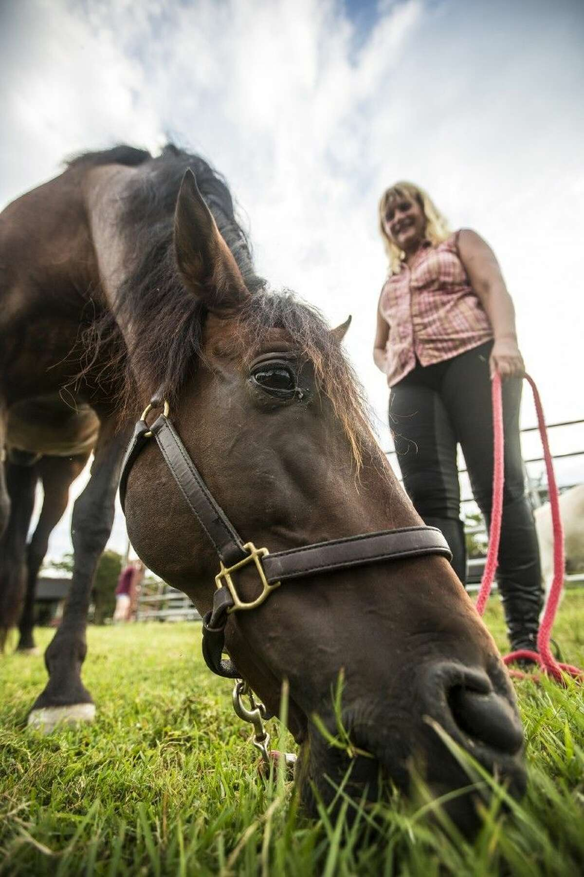 Domingo, a Pura Raza Española or Pure Spanish Horse, grazes while his owner, Marie Gercke watches at Trail's End Stables on Aug. 27, 2014, in Kingwood's Deer Ridge Park. Gercke said that Domingo's blood line has been traced back to horses living in Spain in the 1400s.
