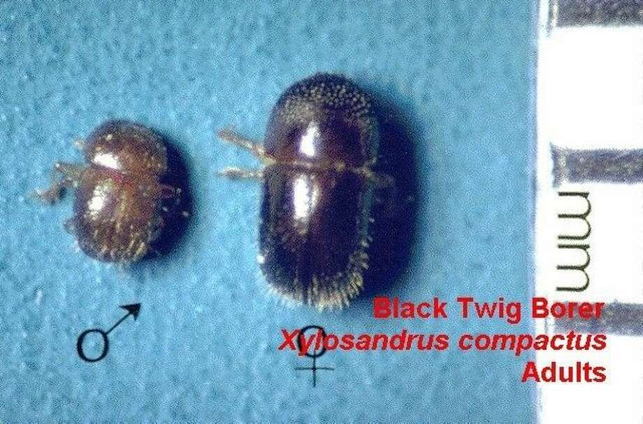 Adult male (left) and female black twig borers are shown. Photo: North Carolina State University