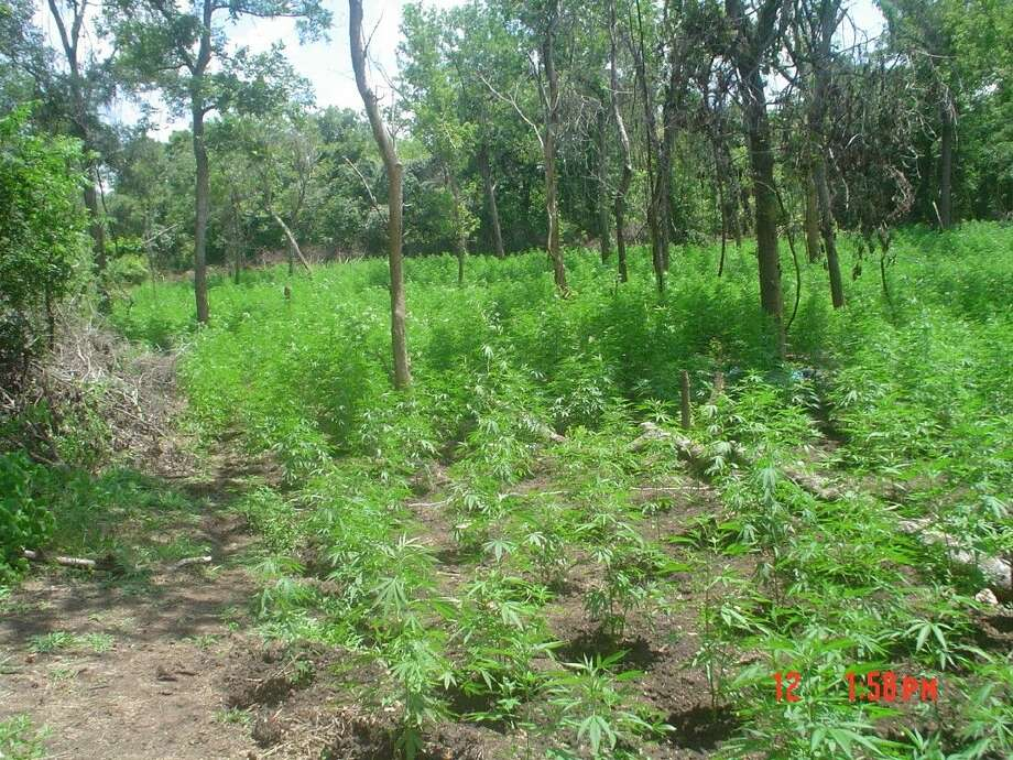 In the last two months, Texas game wardens have been involved in the discovery of four marijuana growing fields in the Houston area - two in Fort Bend County and two in Polk County. The Texas Parks and Wildlife Department is encouraging Texans who come across marijuana fields to leave that area as quickly as possible and then report it to law enforcement. This photo was taken at one of the fields in Fort Bend County.