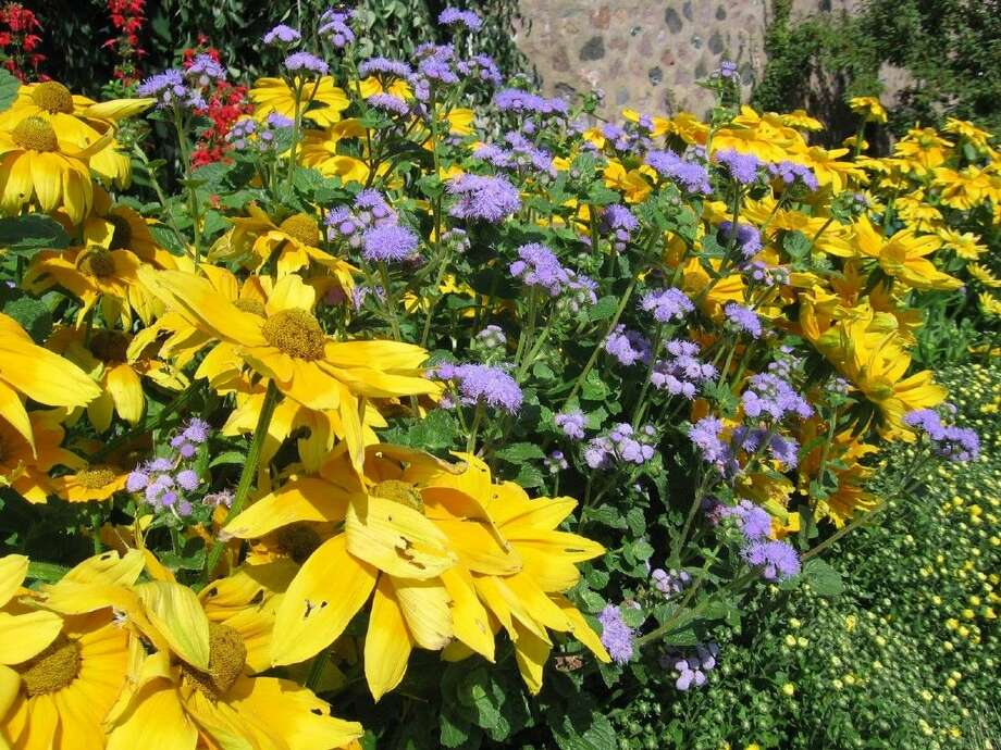 Rudbeckia 'Prairie Sun' and Ageratum 'Blue Horizon' make a nice combination, adding plenty of color to the garden. Photo credit: Melinda Myers, LLC.