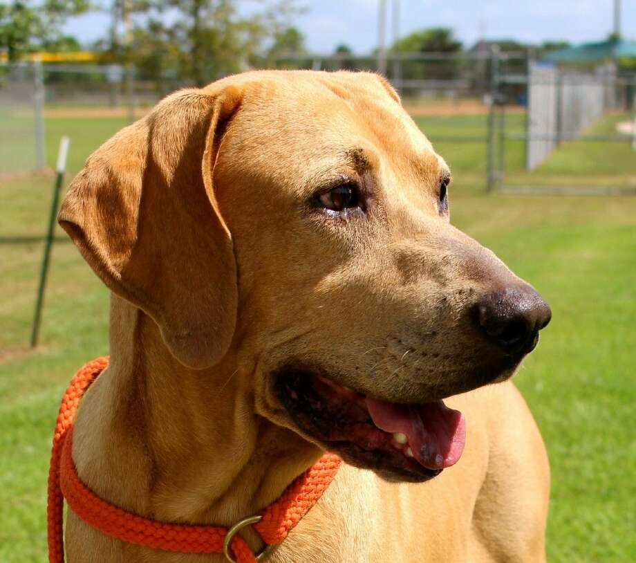 The Friendswood Animal Control Facility dog of the week is Roscoe. Please consider adopting this loveable dog who needs a fovever home. The Friendswood Animal Control Facility is located at 3000 W Parkwood Ave. For more information, call 281-996-3391 or visit www.ci.friendswood.tx.us/Animal-Control Photo: File Photo