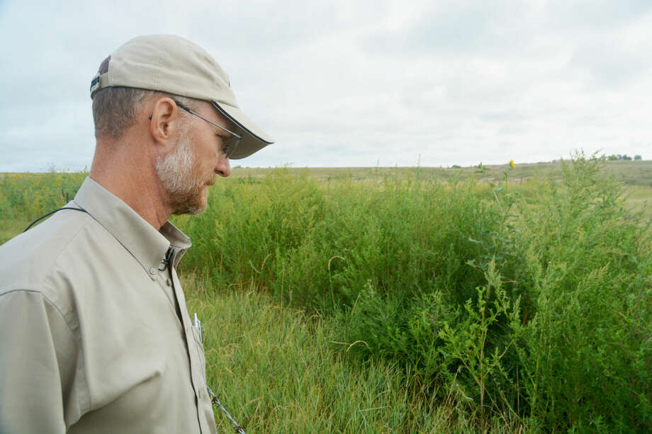 Tim Steffens, Texas A&M AgriLife Extension Service range specialist, looks at heavy weed and grass growth along a fence line in Randall County. Photo: Texas A&M AgriLife Communications Photo By Kay Ledbetter