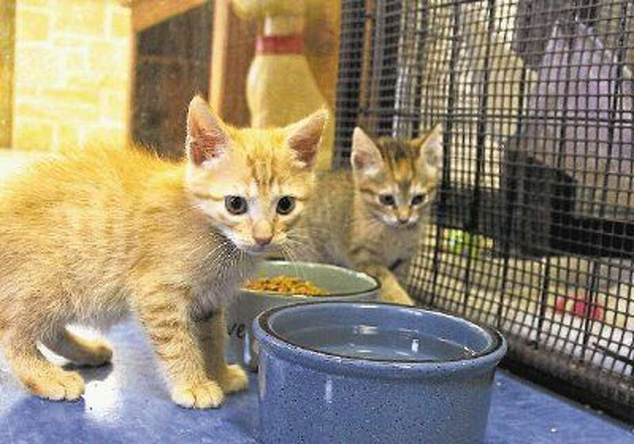 Cats like these are in need of a forever home at Sugar Land Animal Shelter, which is extending its reduced adoption fees for cats and dogs through Oct. 19. Photo: Photo Courtesy COSL