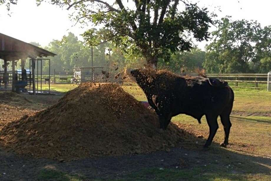 Mick E. Mouse plays in a sand pile. Owner Marlene Henry said that next to bucking, this was his favorite thing to do. Photo: Photo Courtesy Of Marlene Henry