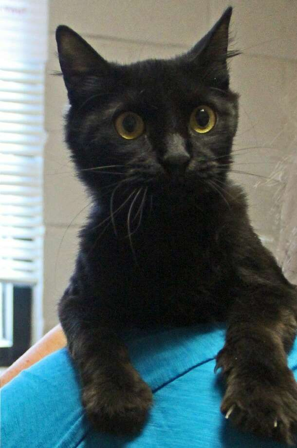 Lovely Mina is the Friendswood Animal Control's Cat of the Week. Photo: Kristi Nix