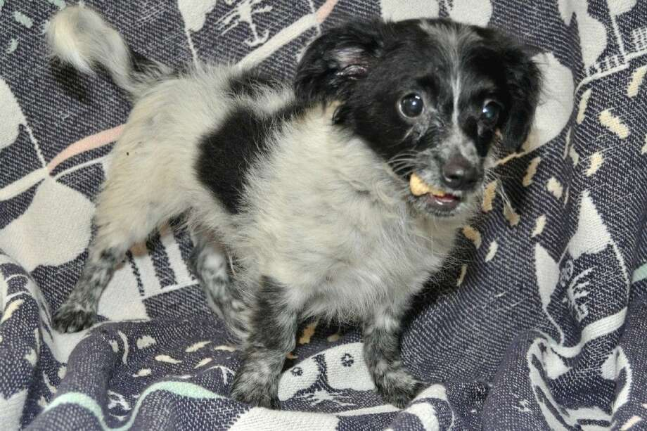 Photo by Jackie Welch/Prince is ready for his new home. The 3 month old black and white Chihuahua/Pomeranian mix male is waiting at the Pasadena Animal Control and ready for adoption. Photo: Jackie Welch