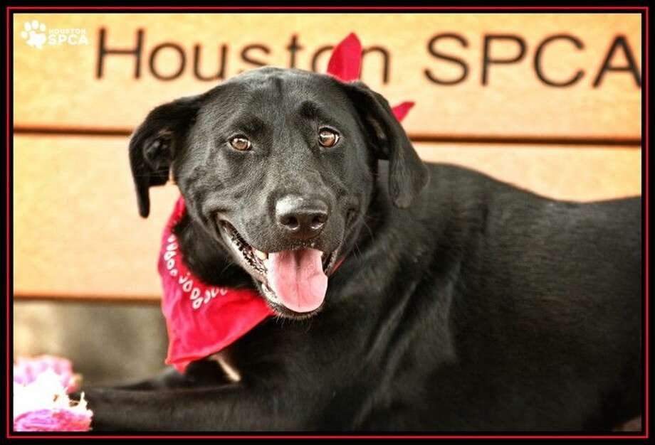 MaggieID#291378 Female Maggie is a seven-year-old Labrador mix who needs a forever home. She is a lovable, cuddly big girl who enjoys being goofy with her family. She may take a moment to come out of her shell, but once she does she's wiggly and social. To learn more about how you can adopt sweet Maggie go to www.HoustonSPCA.org, and visit her at the Houston SPCA today!