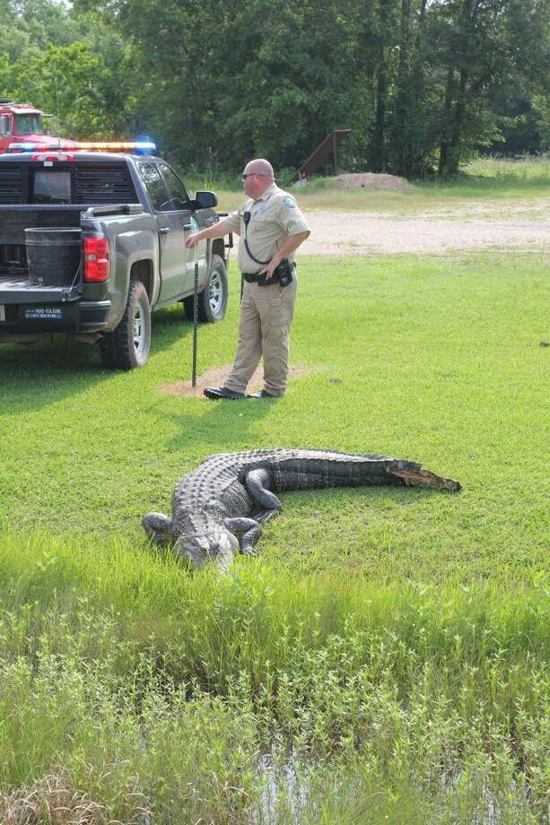 Game Warden Randy Button had to put down this 9-foot alligator Sunday in Moss Hill after it was injured by a car as it crossed SH 146. Photo: Vanesa Brashier