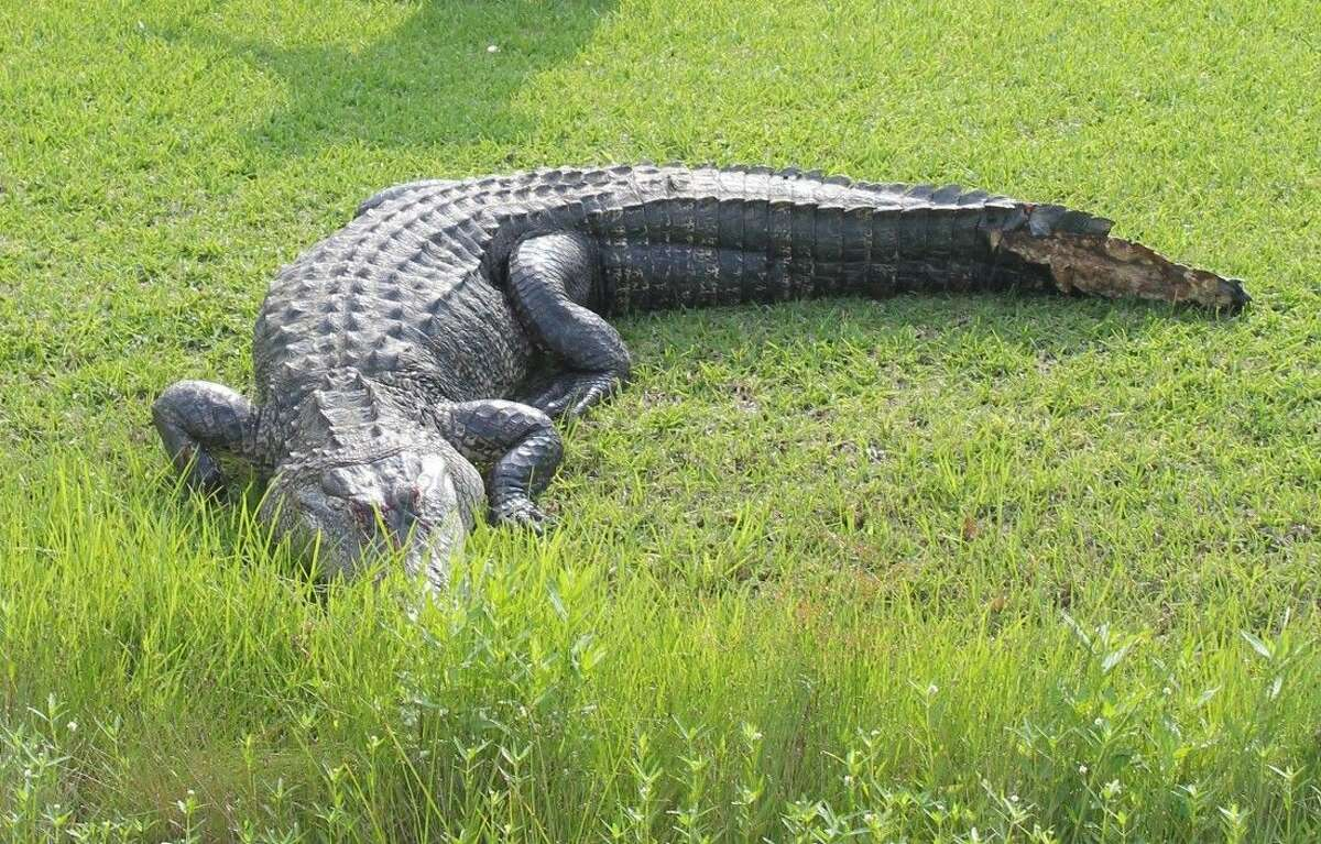 A 9-foot alligator was injured as it crossed SH 146 near the intersection at Moss Hill. The animal had to be put down because of the extent of its injuries.