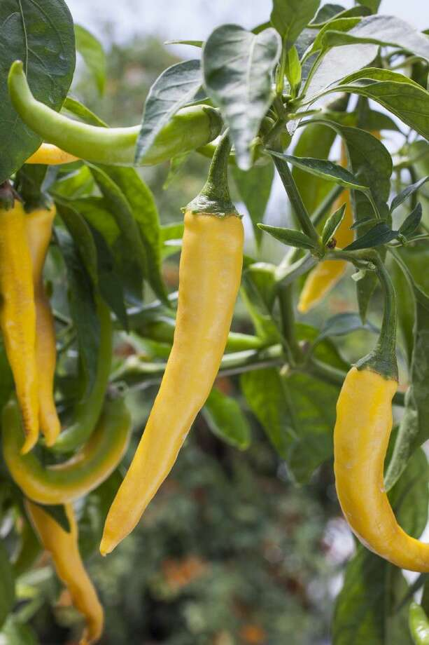 Golden cayenne peppers are hot with a Scoville heat level of 30,000 to 50,000.Photo credit: courtesy of Bonnie Plants