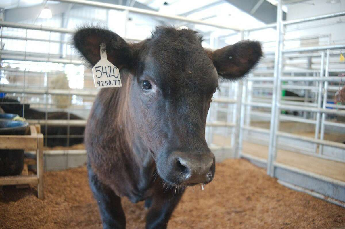 A young FFA project sits in a pen at the Clear Creek ISD East Agriculture Center seen during a tour of the facility Tuesday, May 3.