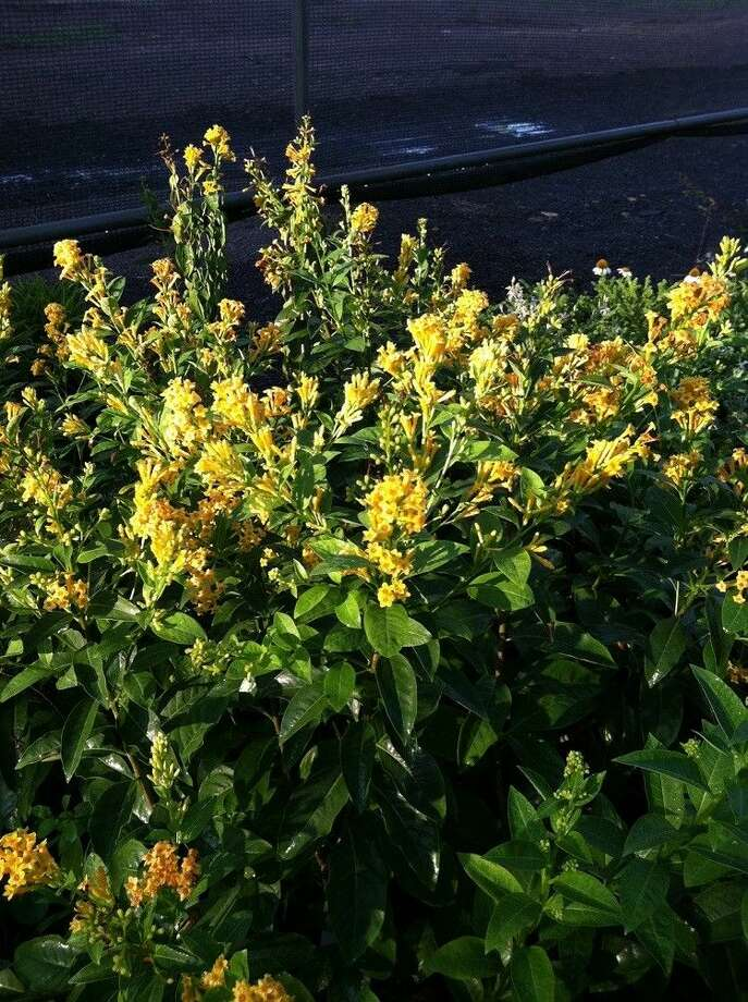 Cestrum is a hybrid perennial shrub with a fast-growth habit and beautiful yellow tubular flowers.