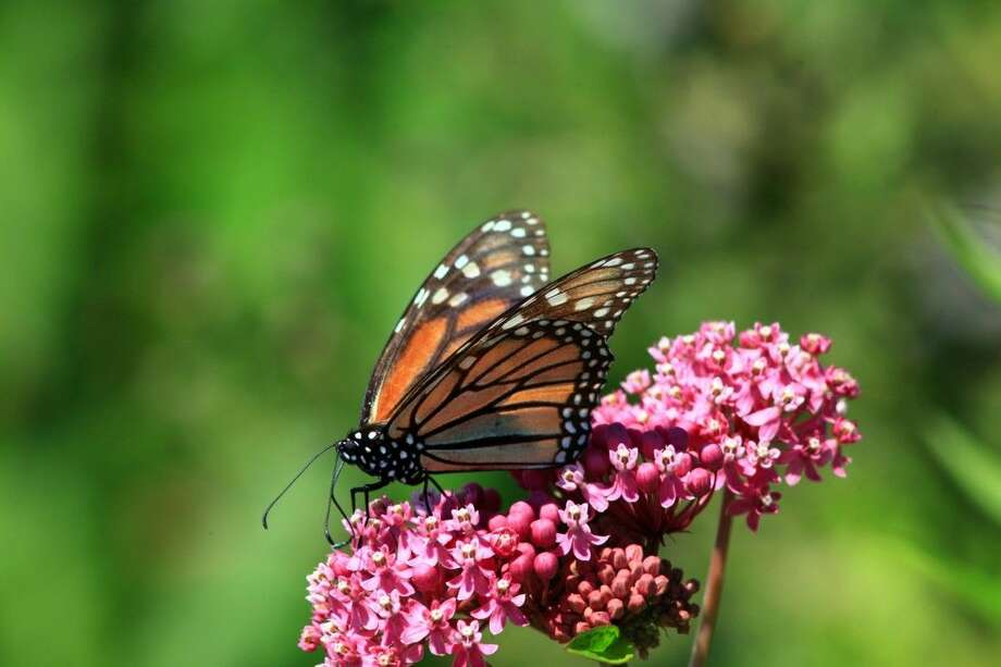 Milkweed is critical to the ecosystem, as it is the only plant on which monarch butterflies lay their eggs and caterpillars feed. It also attracts beneficial pollinators, including many types of bees, while providing beautiful color to gardens.