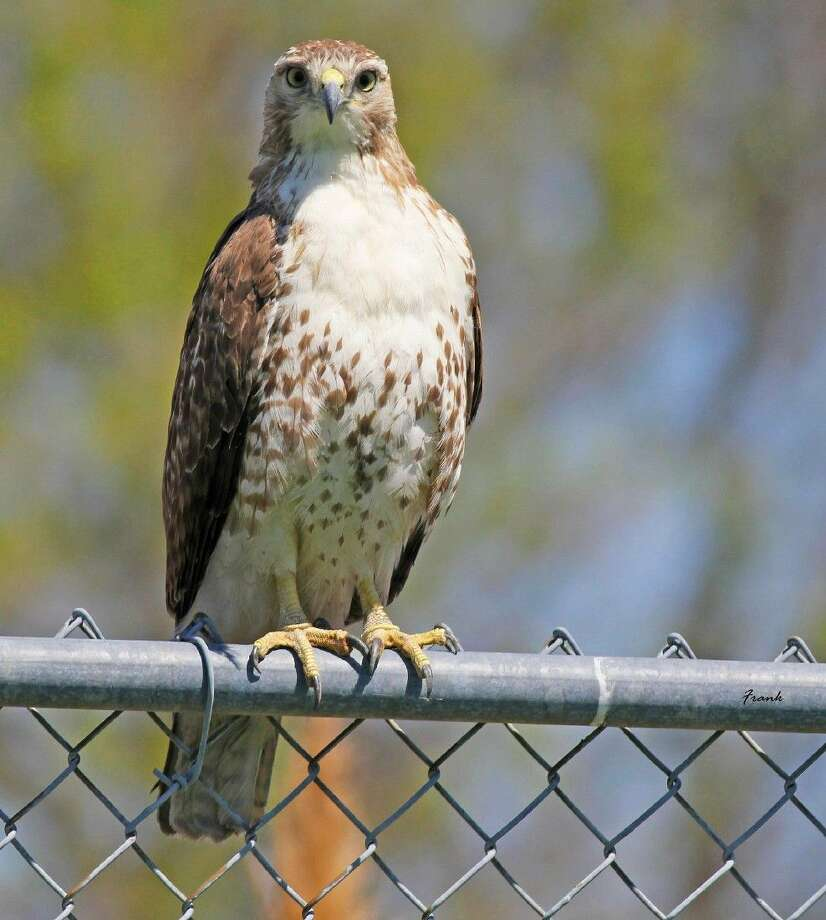 Birds of prey like this Redtailed Hawk, also called raptors, hunt and feed on other animals.