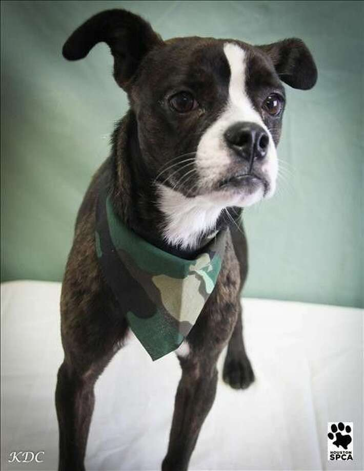 TerryID# 265489 Male Terry is a 1-year-old Boston Terrier cross with lots of spunk in his personality. He's incredibly sweet, friendly and lots of fun. He's also ready to head home with you today.