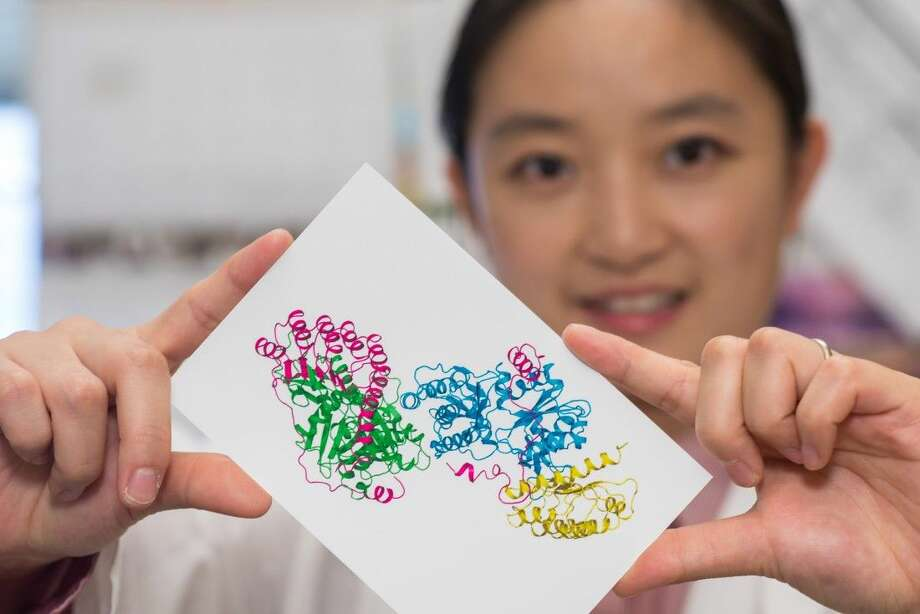 Xiaorui Chen, a postdoctoral researcher at Baylor College of Medicine, holds a structural picture of leiomodin 2, a protein, attached to two actin subunits. Discovery of the structure by scientists at Baylor College of Medicine and Rice University may help researchers learn more about a hereditary neuromuscular disease known as nemaline myopathy. (Credit: Jeff Fitlow/Rice University) Photo: Jeff Fitlow