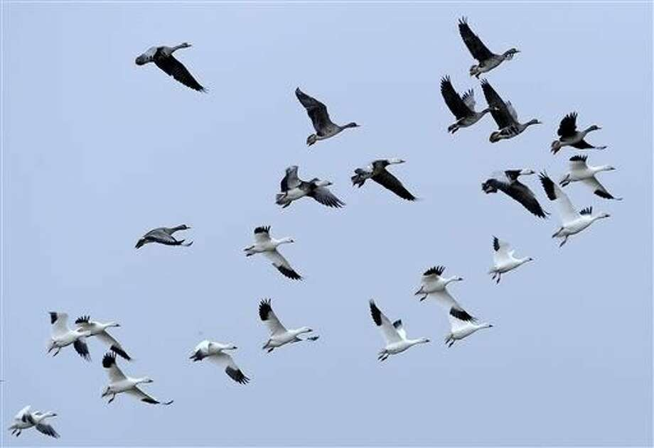 Migratory birds fly over Mad Island, Texas. Energy companies blamed for the deaths of migratory birds may be harder to prosecute under a century-old law that a federal court in September 2015 ruled applies only to intentional killings. Photo: Pat Sullivan