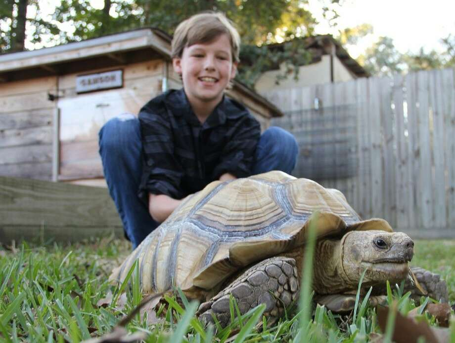 Travis Flatt plays with his 60-pound pet sulcata tortoise, Samson, at their home in Chateau Woods Wednesday, Oct. 22. Photo: Staff Photo By James Ridgway, Jr.