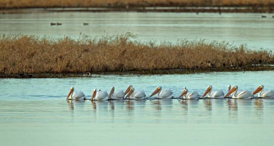 Pelicans swim in the water at Katy Prairie Conservancy. The organization believes the proposed amendments of the Major Thoroughfare and Freeway Plan will harm their land and endanger the animals which make it home.