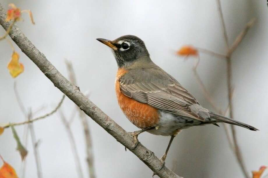 "Kids will learn all about birds like the American Robin at ""Wild Wings"" with Katy Prairie Conservancy at the Katy Contemporary Arts Museum Nov. 8. Photo: Greg Lavaty"